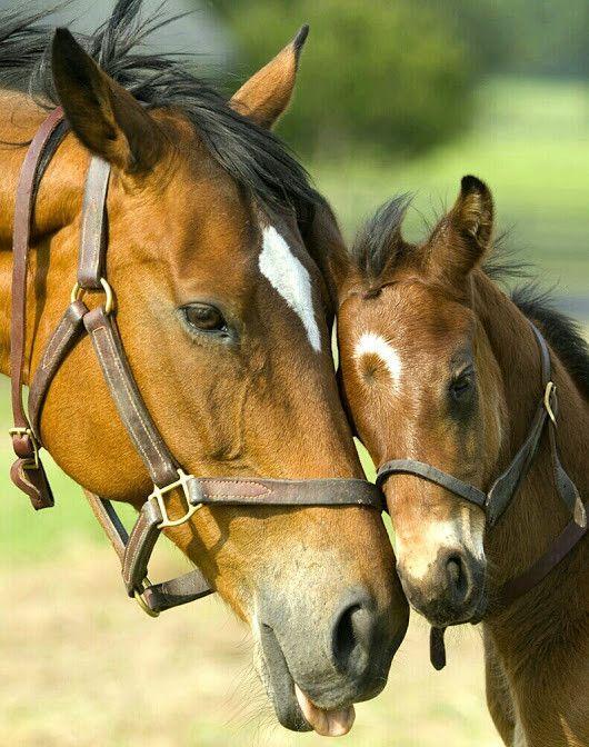 cheval calin